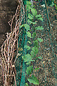 Young kohlrabi plants growing under nets to protect against birds, mid June.