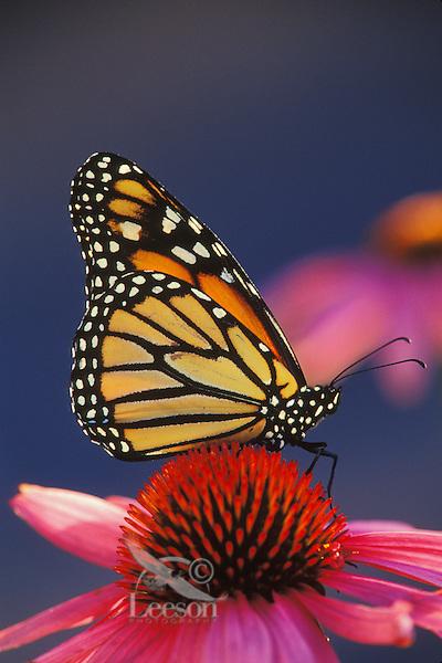 Monarch Butterfly (Danaus plexippus) on purple coneflower.  U.S.A.  Summer.