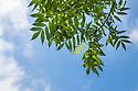 Ash Tree {Fraxinus excelsior} leaves, Derbyshire, UK. July.