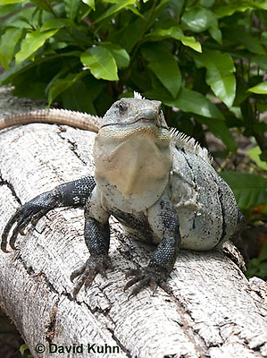 0626-1102  Black Spiny-tailed Iguana (Black Iguana, Black Ctenosaur), On Half-moon Caye in Belize, Ctenosaura similis  © David Kuhn/Dwight Kuhn Photography