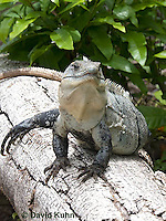 0626-1102  Black Spiny-tailed Iguana (Black Iguana, Black Ctenosaur), On Half-moon Caye in Belize, Ctenosaura similis  © David Kuhn/Dwight Kuhn Photography