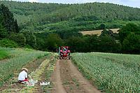 GERMANY Witzenhausen, garlic farming at farm, cultivation of different and old varieties, old Porsche tractor / DEUTSCHLAND, Witzenhausen, Knoblauch Anbau und Ernte bei Gregor Schmitz, Anbau verschiedener und alter Knoblauchsorten, alter Porsche Traktor