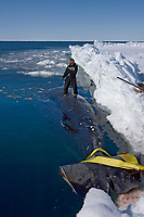 inupiaq whaler stands on a 48 foot 8 inch bowhead whale, Balaena mysticetus, caught by the ABC whaling crew, Chukchi Sea, Arctic Alaska