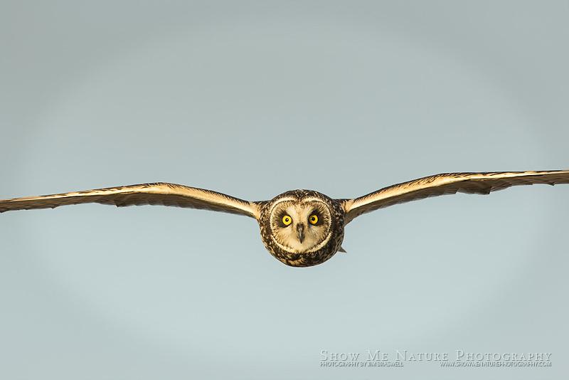 Short-eared Owl hunting over Shawnee Trail CA, Missouri