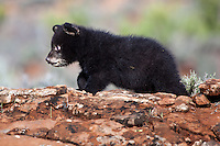 Baby Black Bear walking along the top of a rocky hill - CA
