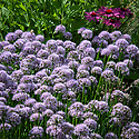 Allium 'Summer Beauty' (syn. Allium lusitanicum), early August. The clump-forming Portuguese allium that flowers in mid- to late summer.