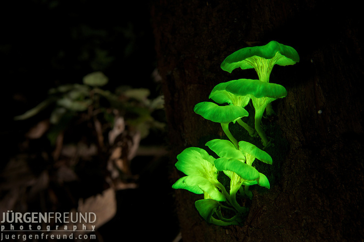 Glowing fungi on a rainforest tree. Possibly Pleurotus nidiformis. One of the best-known bioluminescent fungi in Australia. This is a  large, irregular-shaped fungus with little or no stem, which often grows in dense clusters at the base of living or dead eucalypts.  Bioluminescent mushroom light is created by a chemical reaction. A substance called luciferin reacts with an enzyme, luciferase, causing the luciferin to oxidise, with the consequent emission of light. Fireflies, glow-worms and a number of marine organisms, such as fish, use bioluminescence to attract prey or mates