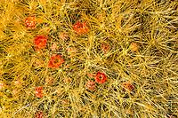 Flowering cactus, Atacama Desert, Chile