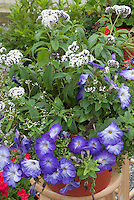 Heliotrope White aka Alba with blue flowered petunias in pot container, fragrance garden plants together
