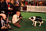 'CRUFTS', JUNIOR KENNEL CLUB OBEDIENCE WINNER 'BISLEY', TWO AND A HALF YEARS OLD WORKING SHEEP DOG., 1991