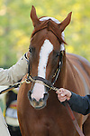 May 17, 2014. California Chrome returns to the barn after winning the 139th Preakness Stakes at Pimlico Race Course in Baltimore, MD. ©Joan Fairman Kanes/ESW/CSM