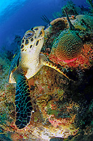 hawksbill sea turtle, Eretmochelys imbricata, Grand Cayman, Cayman Islands, Caribbean Sea, Atlantic Ocean