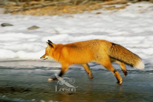 Red fox (Vulpes vulpes) trotting on lake ice.  Winter.