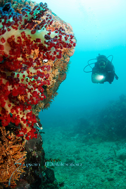 Soft Coral  Reef scene w Diver, Lembeh Straits, Sulawesi Sea, Indonesia, Amazing Underwater Photography