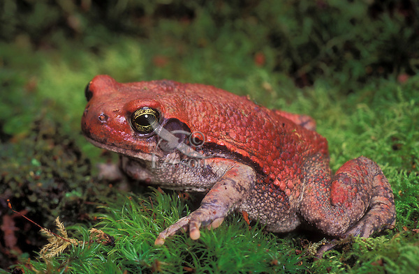 RED TOAD..South Africa north to Kenya..Captive. Schismaderma carens.
