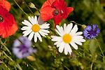 Europa, DEU, Deutschland, Nordrhein-Westfalen, Niederrhein, Margerite (Leucanthemum), Bluete, Klatschmohn (Papaver rhoeas), auch Mohnblume oder Klatschrose, Natur, Umwelt, Pflanzen, Pflanzenkunde, Botanik, Biologie, <br /> <br /> [Fuer die Nutzung gelten die jeweils gueltigen Allgemeinen Liefer-und Geschaeftsbedingungen. Nutzung nur gegen Verwendungsmeldung und Nachweis. Download der AGB unter http://www.image-box.com oder werden auf Anfrage zugesendet. Freigabe ist vorher erforderlich. Jede Nutzung des Fotos ist honorarpflichtig gemaess derzeit gueltiger MFM Liste - Kontakt, Uwe Schmid-Fotografie, Duisburg, Tel. (+49).2065.677997, ..archiv@image-box.com, www.image-box.com]