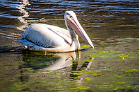 An American white pelican and its reflection floatng and foraging at the San Lorenzo Park, the Duck Pond