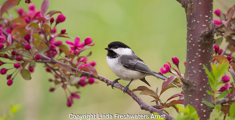 Black-capped chickadee perched in a crabapple tree