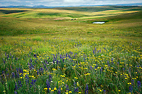 Wildflowers ,meadow, pond and pioneer cabin. Zumwalt Prairie, Oregon