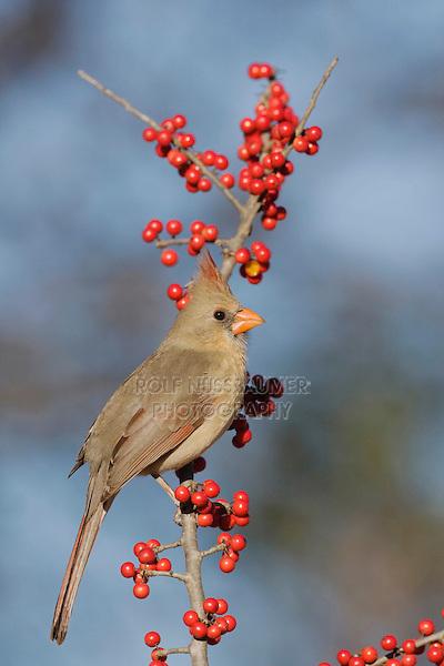 Northern Cardinal (Cardinalis cardinalis), female eating Possum Haw Holly (Ilex decidua) berries, Bandera, Hill Country, Texas, USA