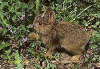 MA19-027z  Snowshoe Hare - young several weeks old - Lepus americanus