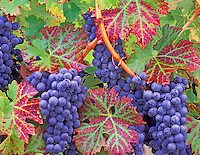 Close up of grapes with dew. Cabrenet Sauvignon. Alpine Vineyards, Oregon