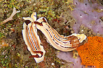Two Chromodoris nudibranchs (Hypselodoris emma). Anilao, Batangas, Philippines 28 March 2010