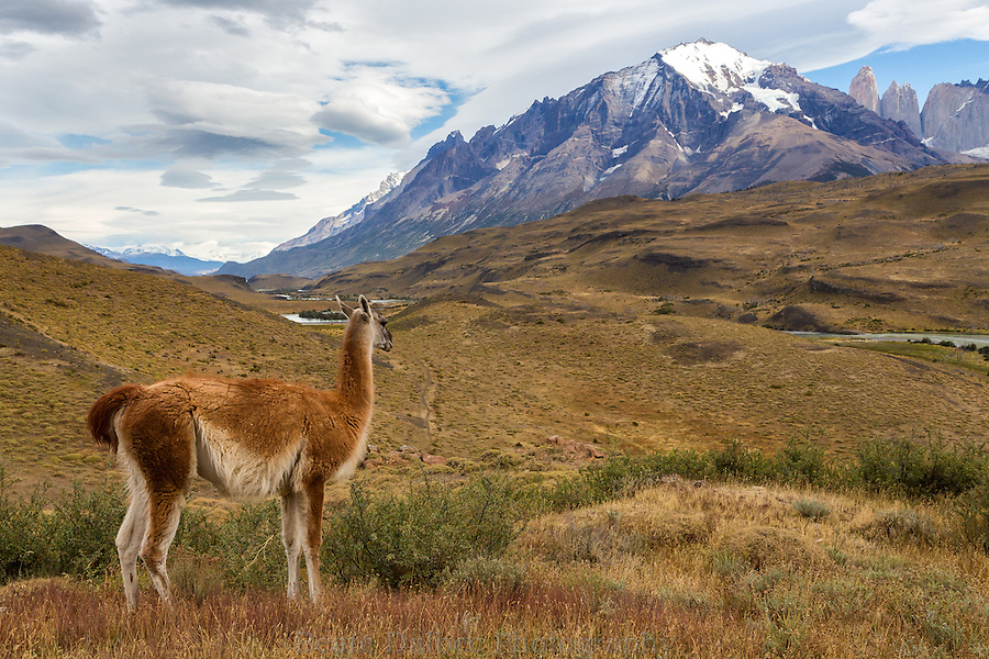 Guanaco overlooking Torres del Paine, Patagonia, Chile