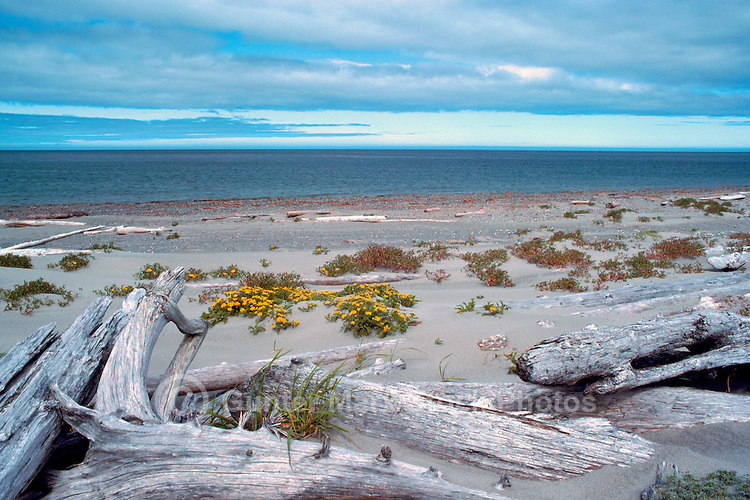 Haida Gwaii (Queen Charlotte Islands), Northern BC, British Columbia, Canada - Driftwood and Wildflowers on South Beach along McIntyre Bay, Naikoon Provincial Park, Graham Island