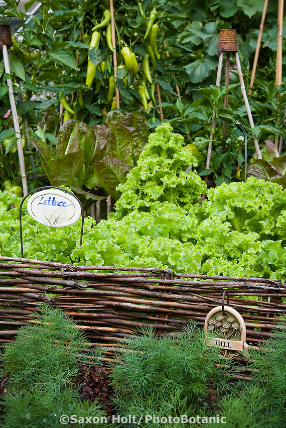 Organic vegetable garden with dill (herb), letttuce and peppers