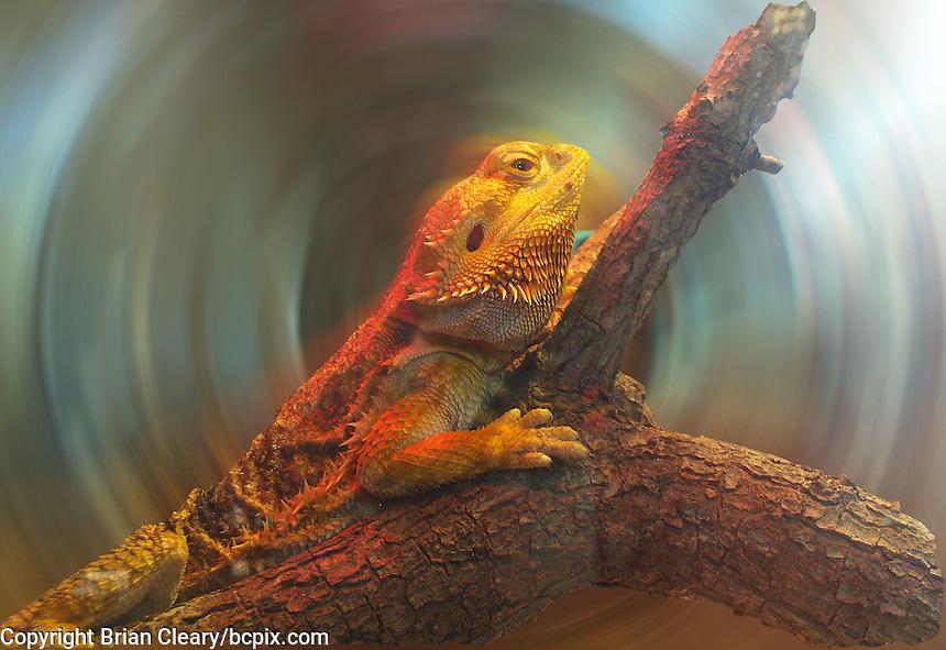 A lizard in a terrarium, digitally manipulted in photoshop, Busch Gardens, Tampa, FL, November 2009.  (Photo by Brian Cleary/www.bcpix.com)