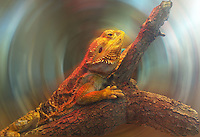 A lizard in a terrarium, digitally manipulted in photoshop, Busch Gardens, Tampa, FL, November 2009.  (Photo by Brian Cleary/www.bcpix.com)