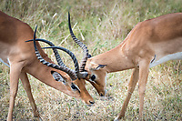 """Impala """"play fight"""" during some afternoon downtime in Tarangire National Park, Africa."""