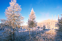 Winter Setting of Frosted Trees in Boreal Forest and Marsh, in Liard River Hot Springs Provincial Park, Northern British Columbia, Canada