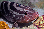 Nassau Grouper medium shot with Neon Goby on its' back