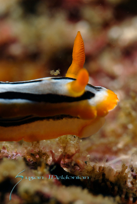 Hairy Shrimp (Neostylodactylus litoralis) Mascot to Nudibranch, Anna's Chromodoris, Anilao, Batangas, Philippines, Amazing underwater Photography