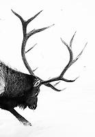 A bull elk digs for food.