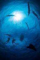 diver, snorkeler, photographer and Atlantic sailfish, Istiophorus albicans, hunting round sardinella or Spanish sardines, Sardinella aurita, Isla Mujeres, Mexico, Gulf of Mexico, Caribbean Sea, Atlantic Ocean
