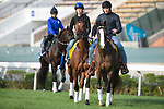 SHA TIN,HONG KONG-DECEMBER 09 : Stormy Liberal,trained by Peter Miller, is in preparation for the Hong Kong  at Sha Tin Racecourse on December 9,2017 in Sha Tin,New Territories,Hong Kong (Photo by Kaz Ishida/Eclipse Sportswire/Getty Images)