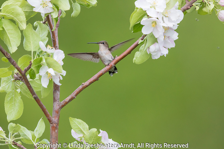 Female ruby-throated hummingbird in northern Wisconsin.