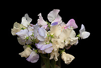 Lathyrus odoratus, Sweet Peas, mixed bouquet of cut flowers, scented fragrant annual sweetpeas