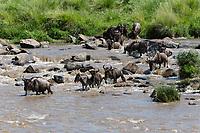 Tanzania. Serengeti. Wildebeest Crossing the Mara River.