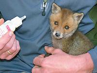 Rotfuchs, verwaistes Jungtier wird in menschlicher Obhut großgezogen, Fütterung aus einer Milchflasche mit Spezial-Aufzuchtsmilch, Jungtier wird von Hand aufgezogen, Aufzucht eines Wildtieres, Welpe, Tierkind, Tierbaby, Tierbabies, Rot-Fuchs, Fuchs, Vulpes vulpes, red fox