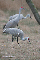 0102-1007  Flock of Sandhill Cranes Eating in Field during Winter, Grus canadensis  © David Kuhn/Dwight Kuhn Photography