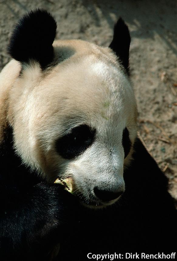 China, Peking, Panda-Bär im Zoo