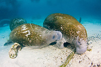 Florida Manatee, Trichechus manatus latirostris, A subspecies of the West Indian Manatee. A nursing calf shows visible scars on it's back from a boats propellereller. Crystal River, Florida