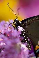 Black Swallowtail Butterfly sitting on purple butterfly bush