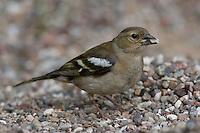 Buchfink, Weibchen, Fringilla coelebs, Chaffinch, Pinson des arbres