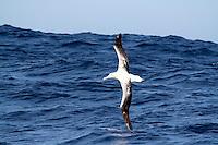 Southern Royal Albatross in flight off Tasmania