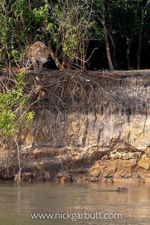 Wild female Jaguar (Panthera onca palustris) stalking a startled Capybara (Hydrochaeris hydrochaeris) swimming in the Piquiri River (a tributary of Cuiaba River). Northern Pantanal, Brazil.